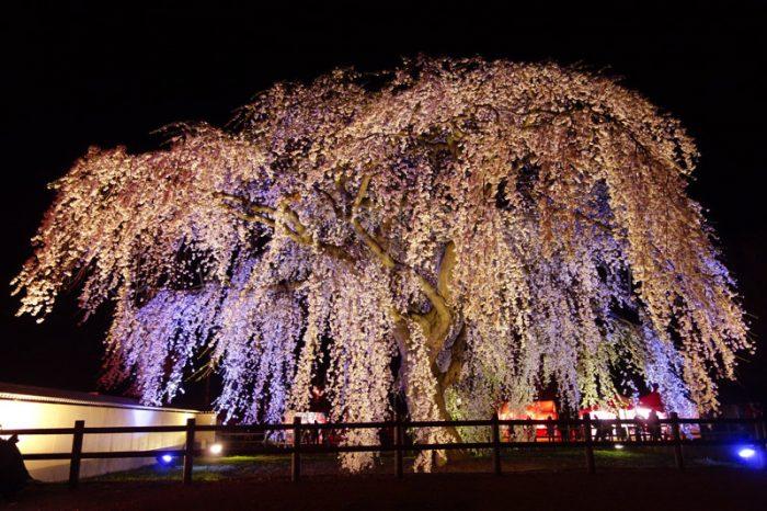 北斗市の法亀寺しだれ桜